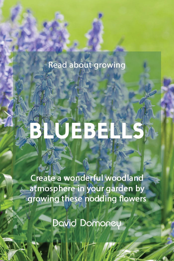 How to grow bluebells in your garden