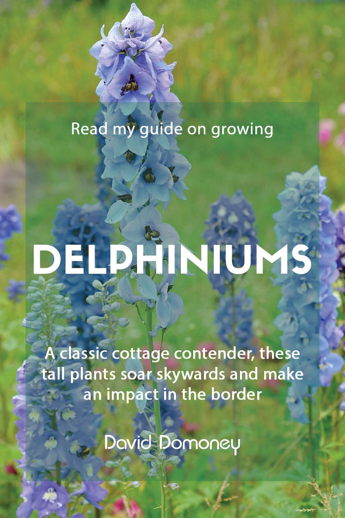 A guide to growing delphiniums in your garden