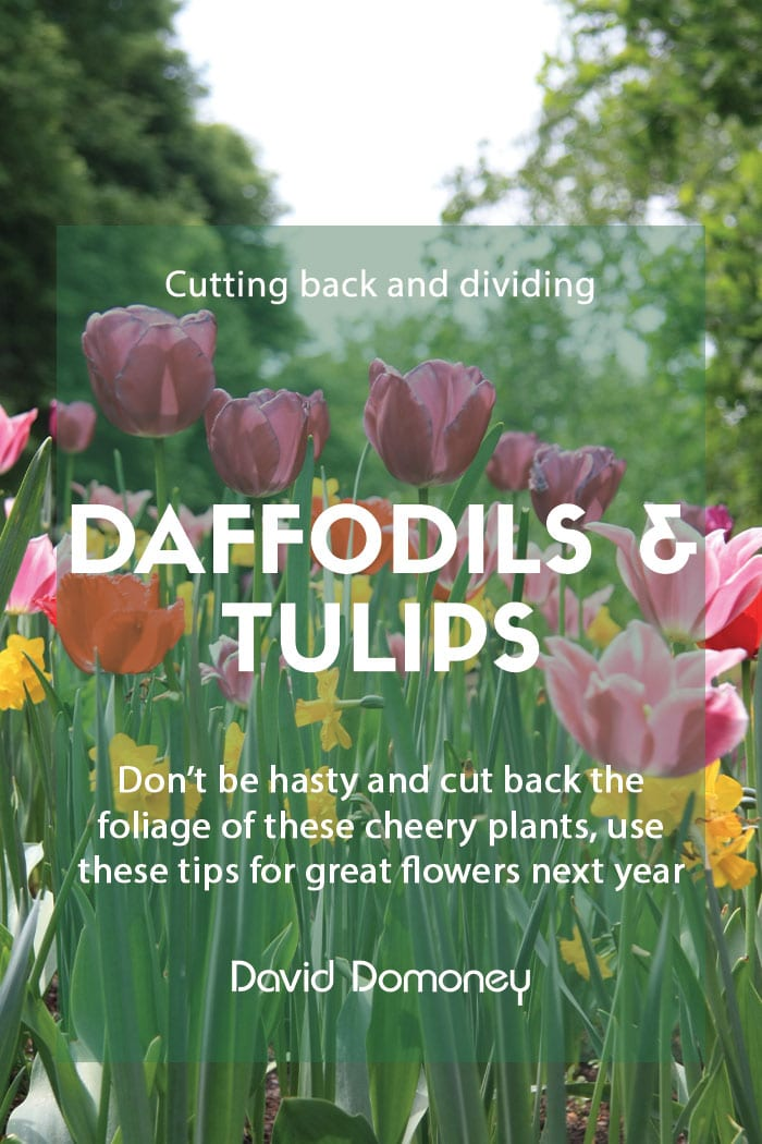 Cutting back and dividing daffodils and tulips