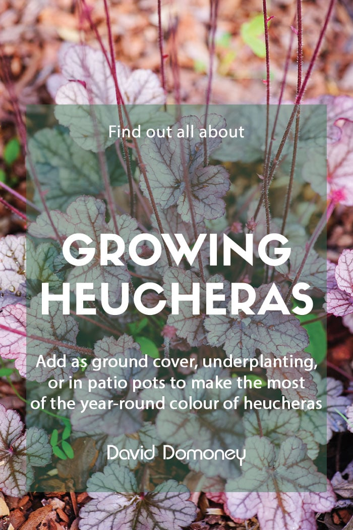 Growing heucheras