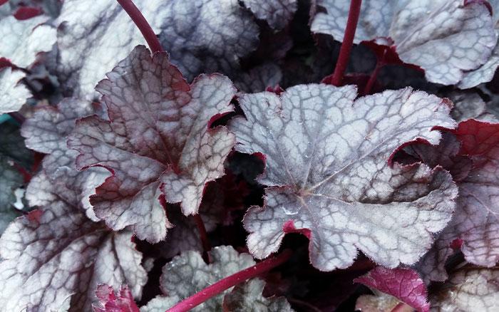 Rose-petal-salad-2