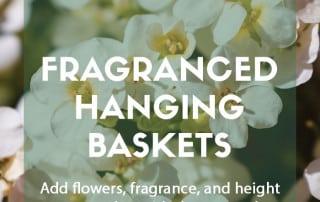 Top plants for fragranced hanging baskets