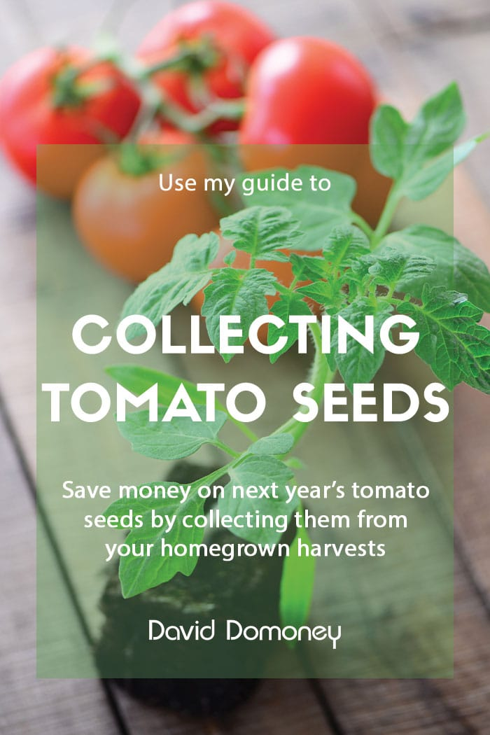 Collecting tomato seeds