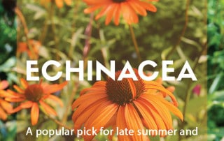 A guide to growing echinacea in the garden