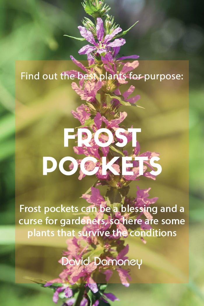 Plants for purpose - Plants for frost pockets