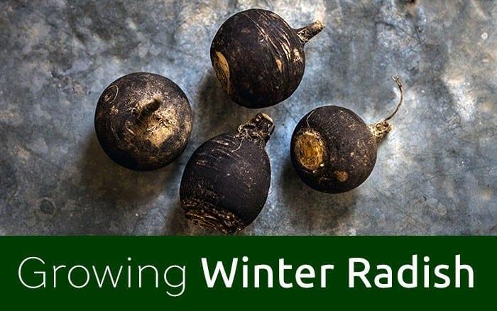 Growing-winter-radish