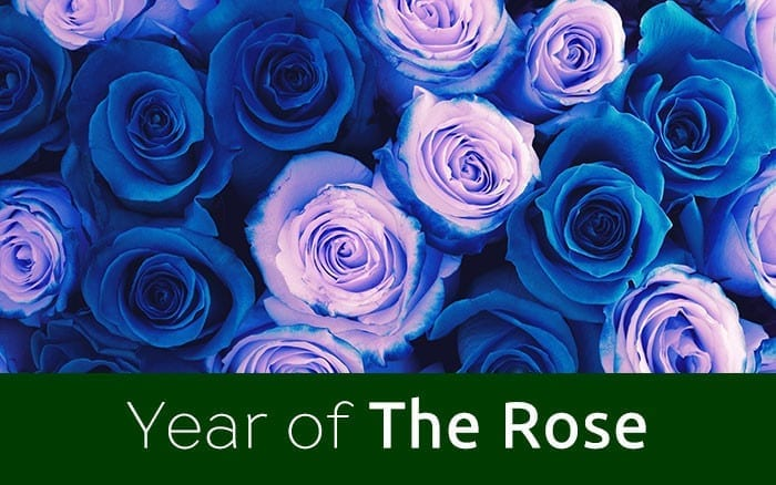 Blue-roses-feature-image