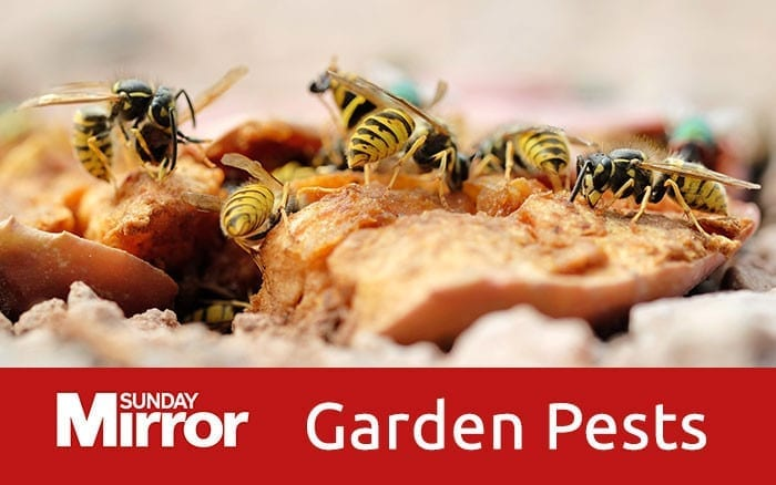 Wasps-on-bread-garden-pests-feature-image
